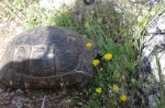 Our Brit friend says this is a tortoise, not a turtle.  What do Americans know!