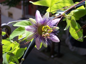 Waterloo - where my passion for Passion Flowers began!