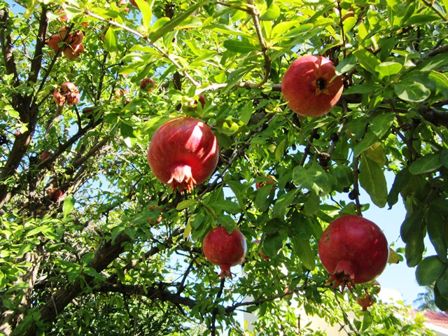 Pomegranate Tree!